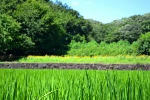 011水田越しに見るヒマワリ