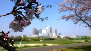 三分咲き越しの武蔵小杉