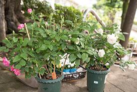 準備されたバラは2種。白が「ボレロ」、ピンクが「うらら」