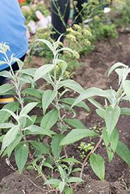ビオトープに植えられたブッドレア(チョウが好む植物)