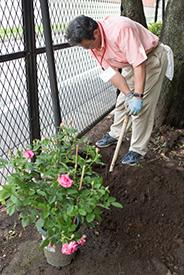 バラを植えるための穴掘り。PTA会長の原田さんががんばってくださいました