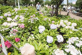 たくさんのあじさいが咲く美しい花壇。愛花会のメンバーが一年かけてここまでつくりあげました