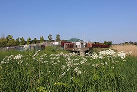 河川敷の自然植生生物-ハナウド開花
