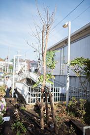 10月末に植えられた河津桜